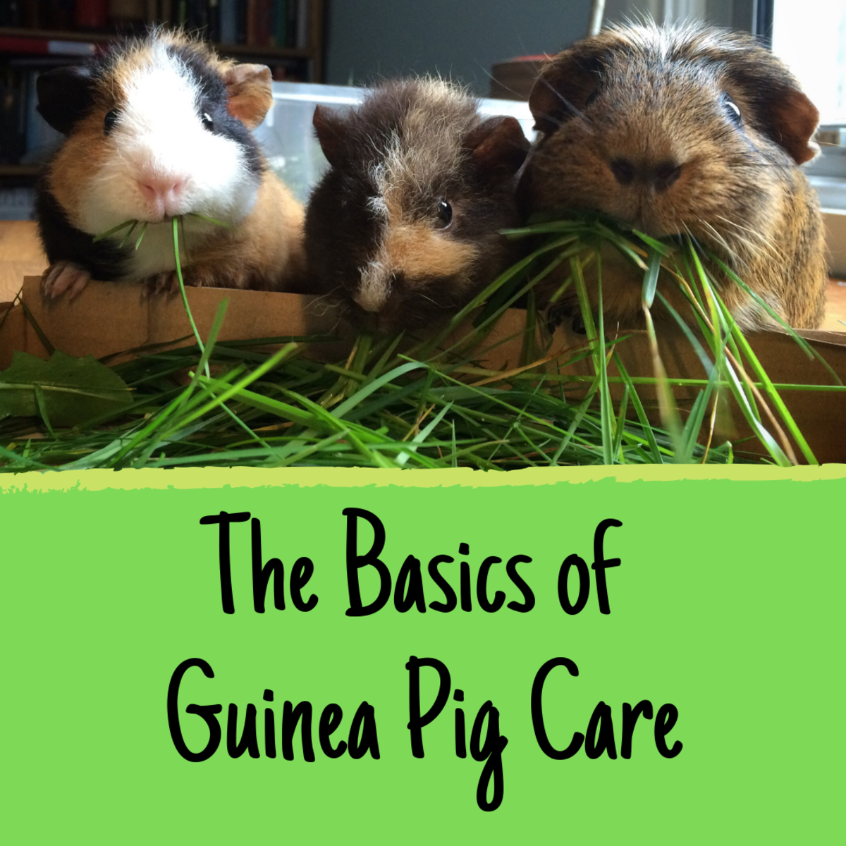 Are you an aspiring guinea pig owner? Find out what you need to know before bringing your new pets home.