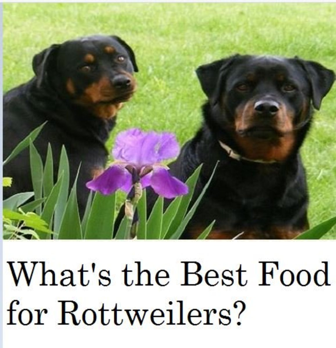What's the Best Dog Food for Rottweilers?
