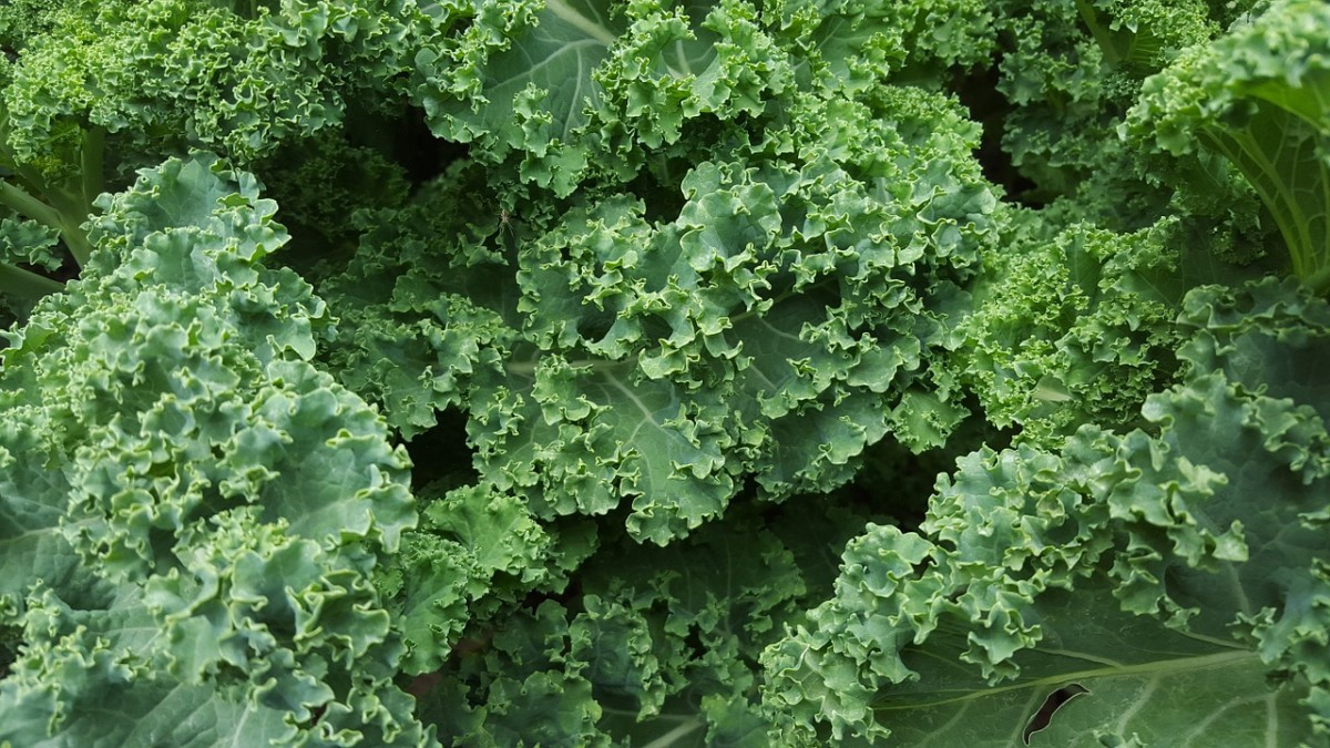 Beautiful kale in its simplest form