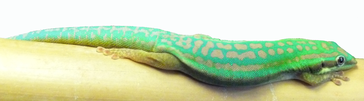 Phelsuma day geckos are considered fairly difficult to keep and cannot be handled, but I love their bright colours. This is my P. cepediana male.