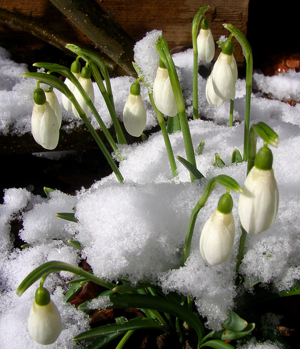 At the end of a long, cold Winter, we all look for signs of Spring. I find a sign in snowdrops, and in Groundhog Day. Where do you see Spring springing up?