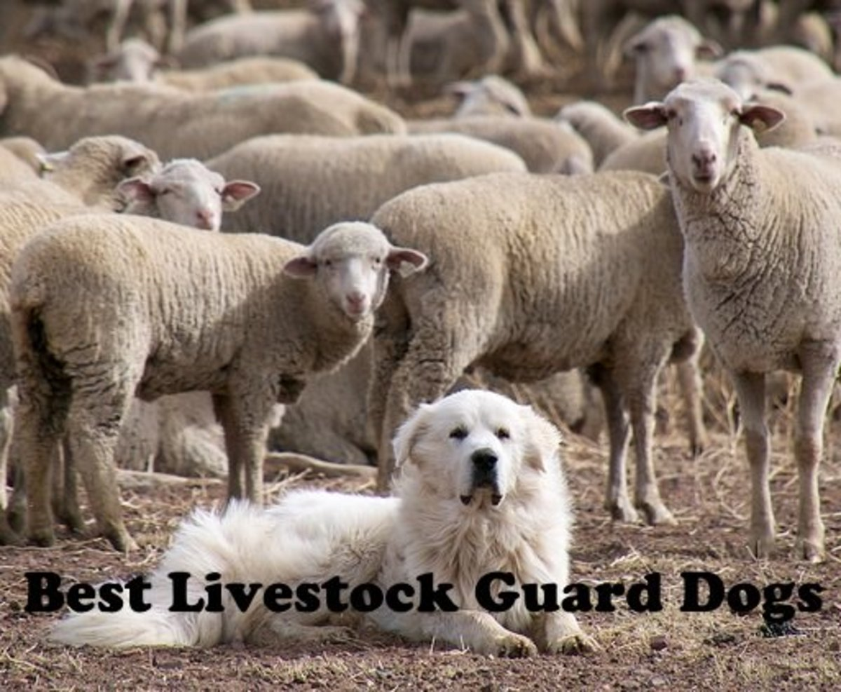 Great Pyrenees are one of the best livestock guard dogs.