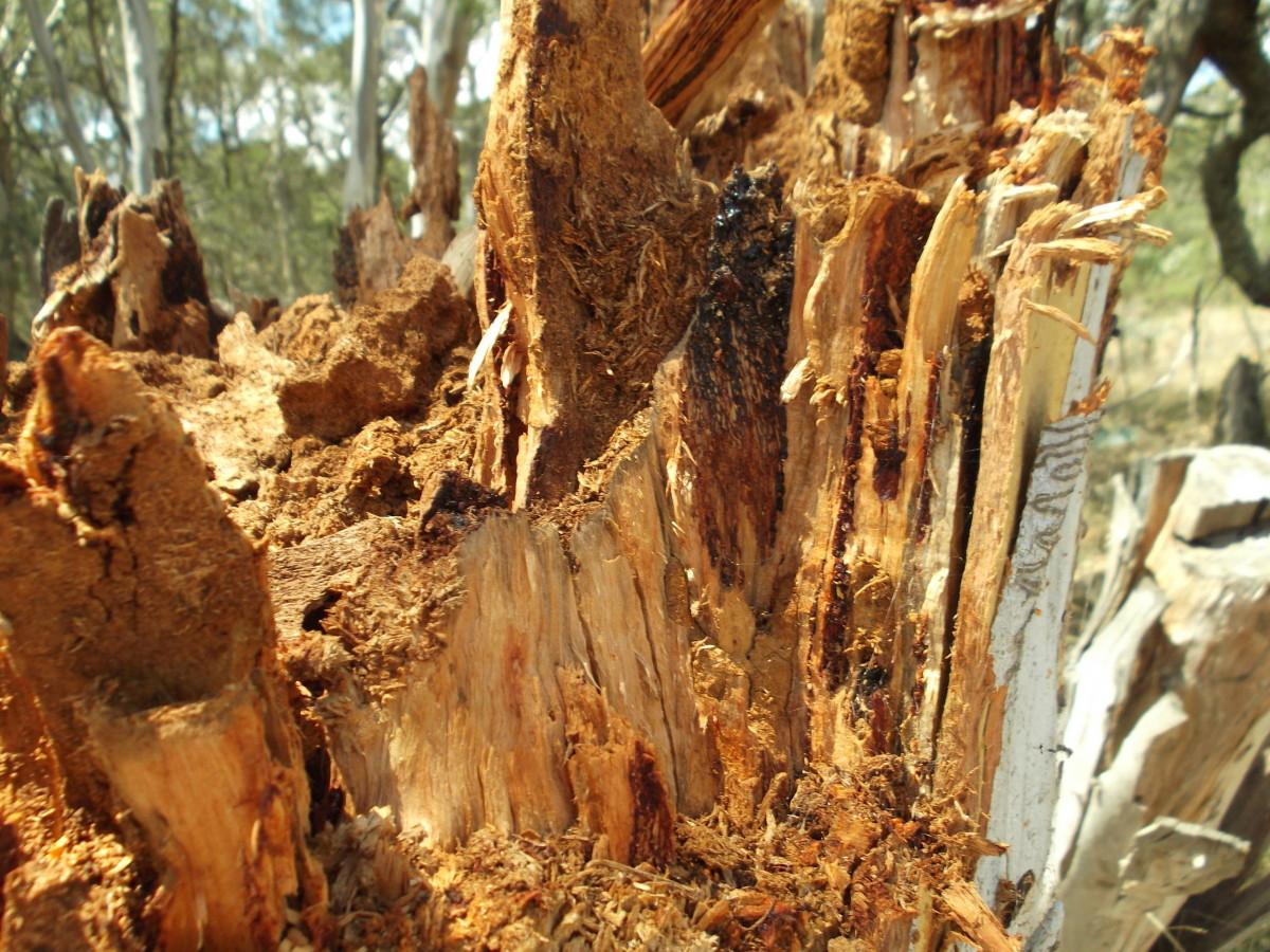 Termite Damage in My Eucalyptus (Gum) Trees