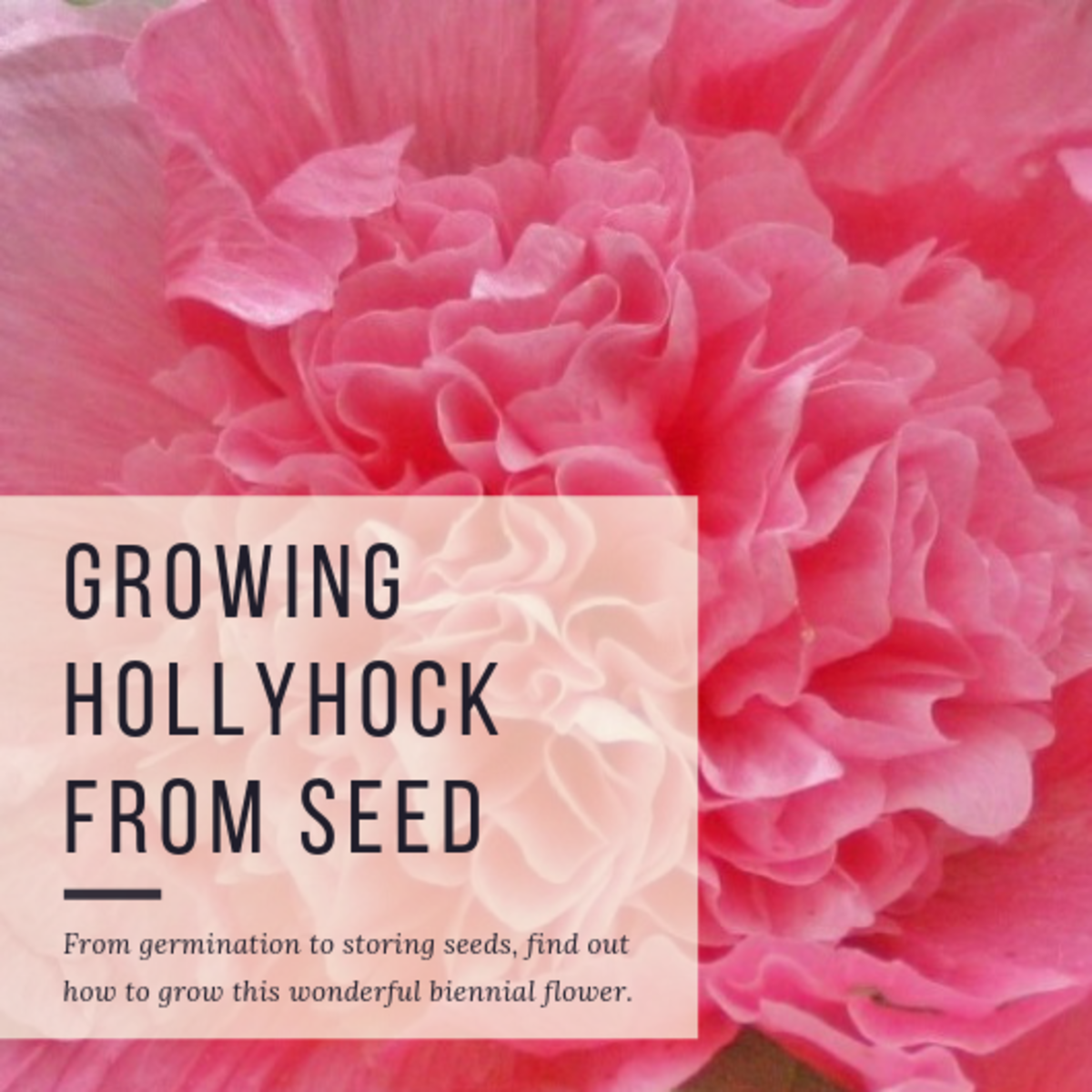 How to Grow Hollyhock From Seed