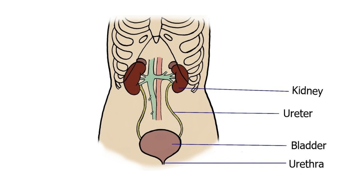 The Urinary System: Nephron & Urine Formation