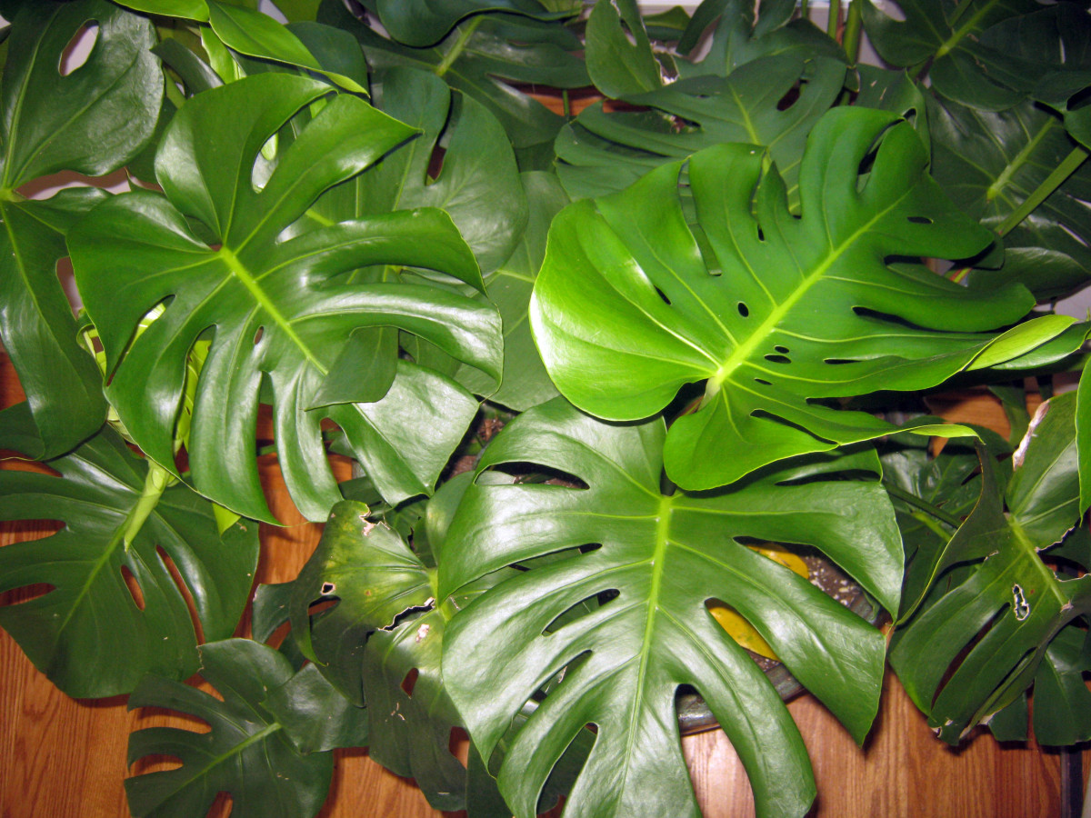 Easy houseplant swiss cheese plant or monstera deliciosa dengarden - Big leaf indoor plants ...