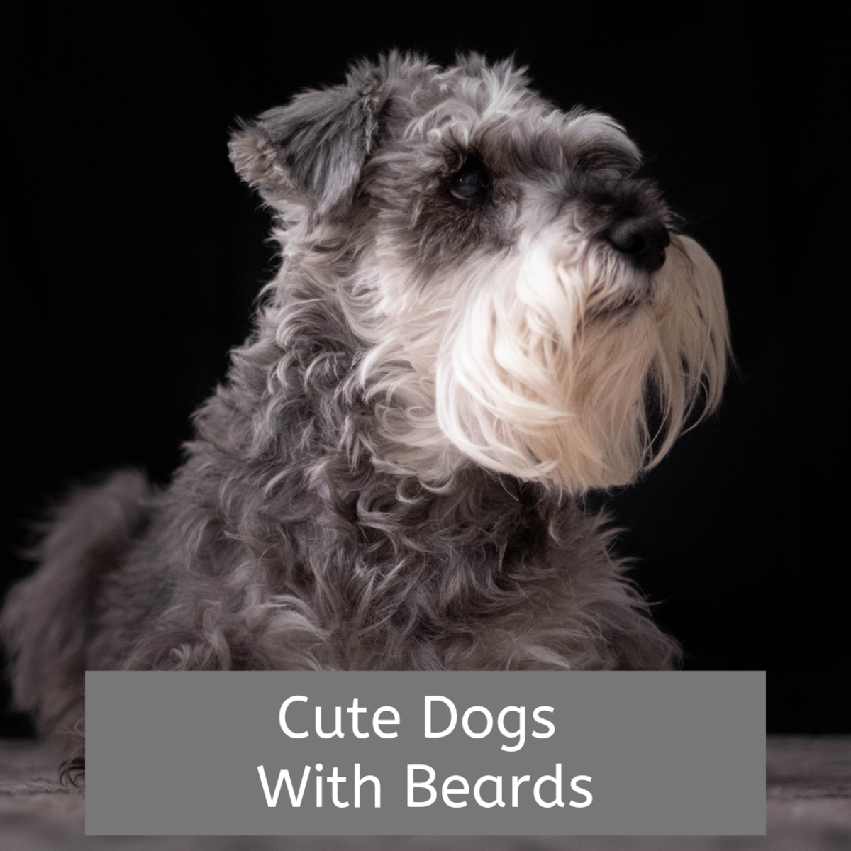 Learn about some of the many breeds of dogs with beards.