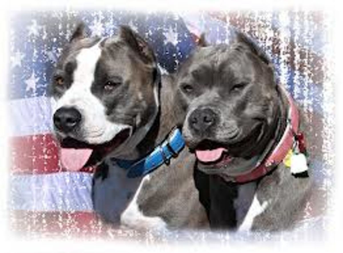 Positive Stories About Pit Bull Dog Heroes