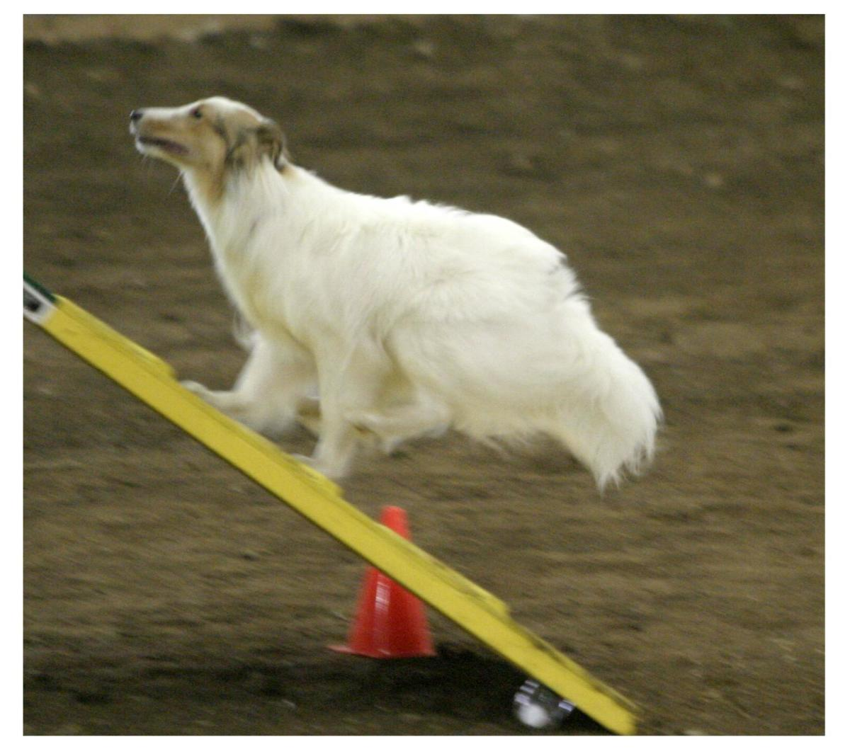 The author's sheltie, Jericho, charging with confidence up the A frame in the Novice (beginners) Class.