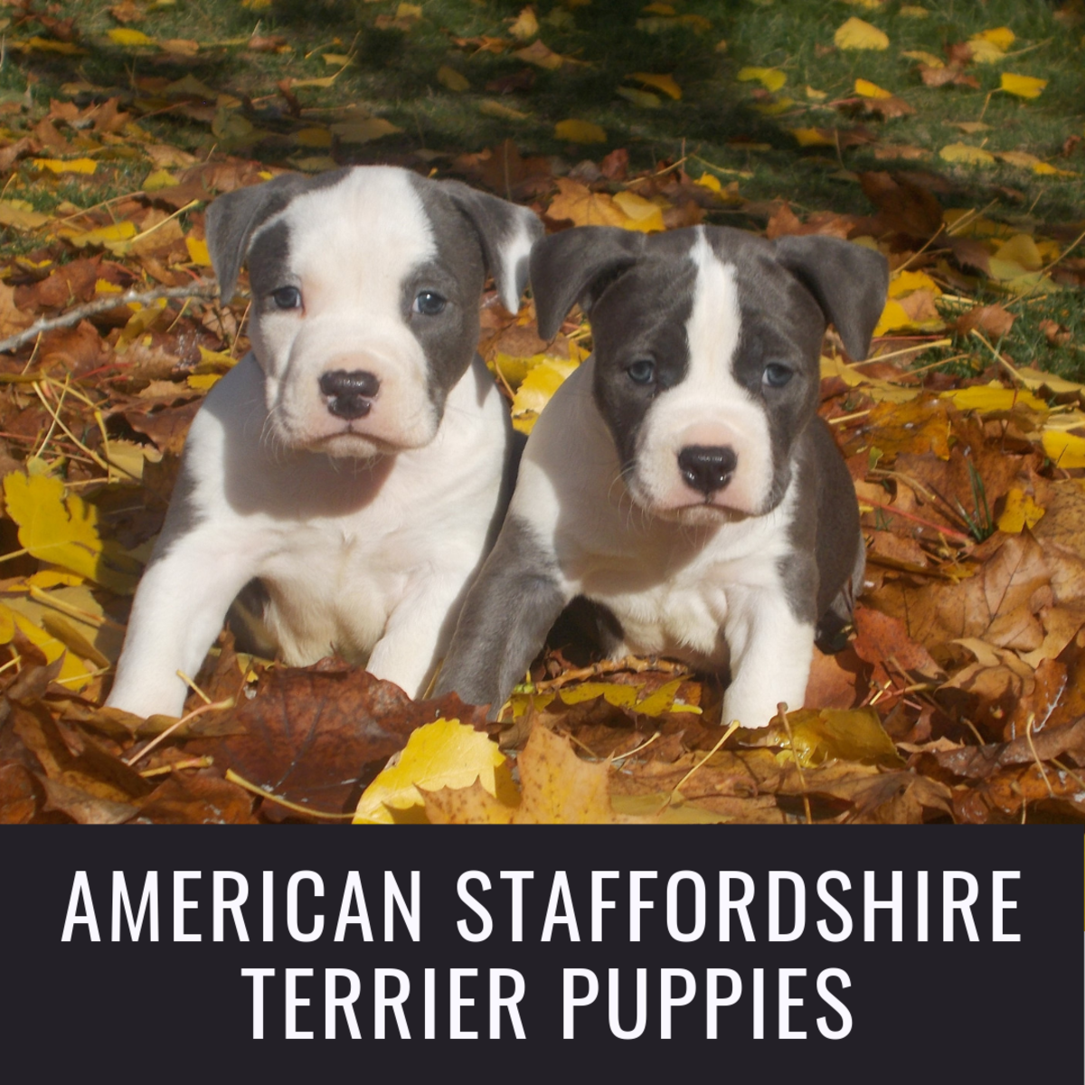 American Staffordshire Pit Bull Terrier Puppies