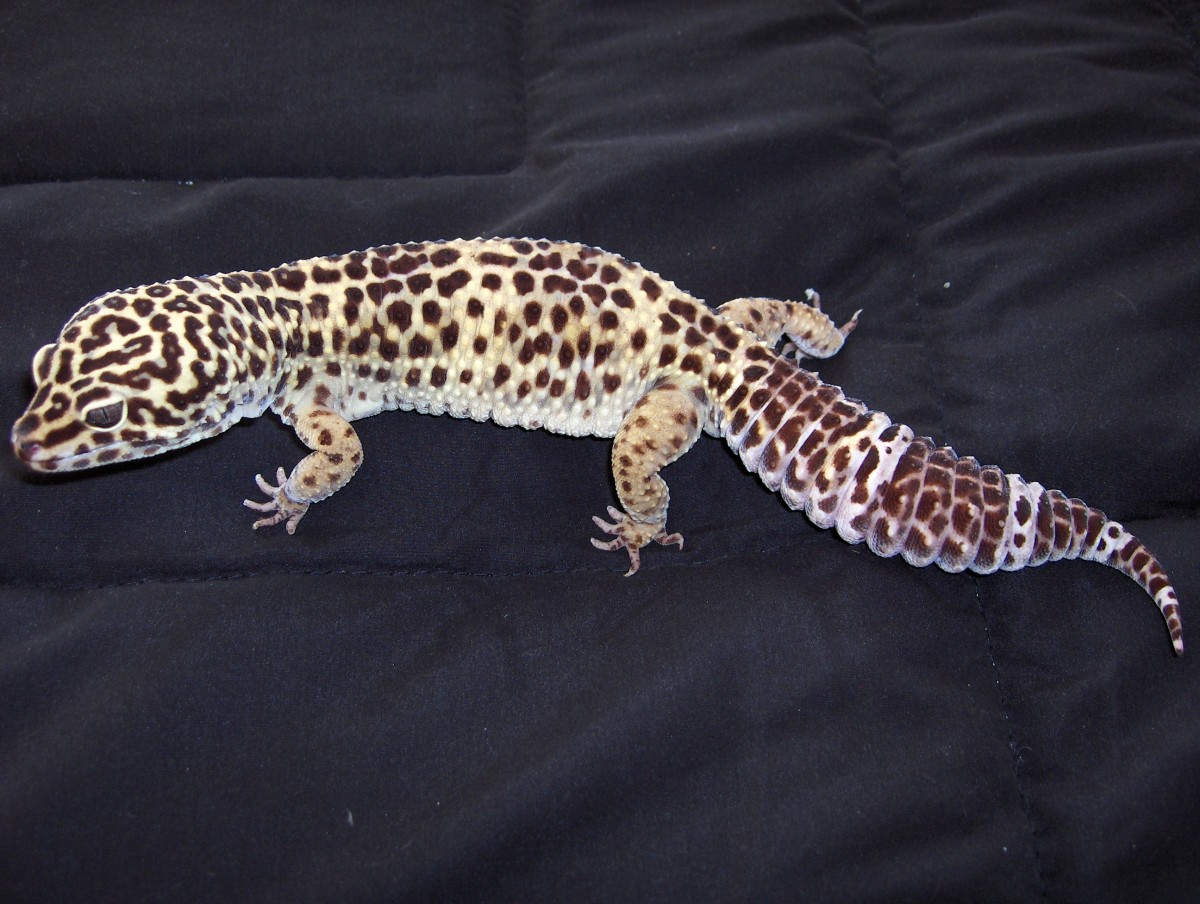 Leopard Gecko Shedding Problems