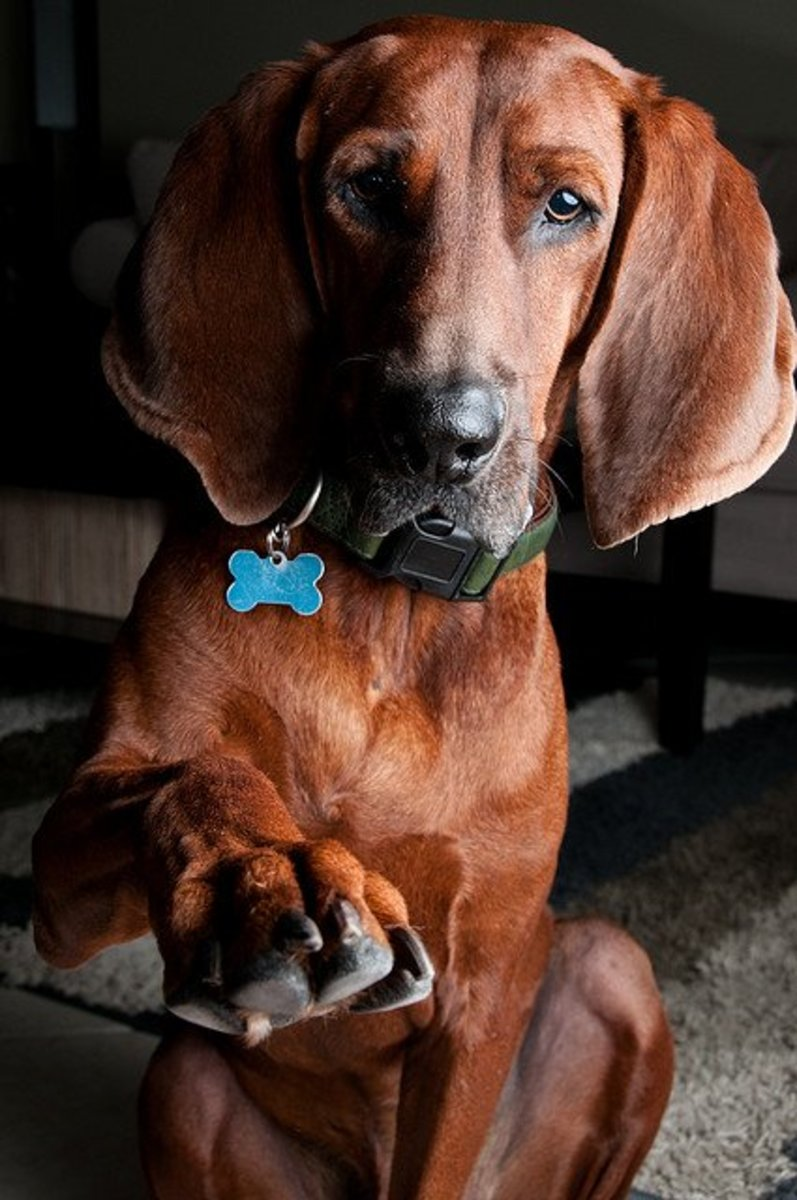 A Redbone Coonhound: Looking for a new name?