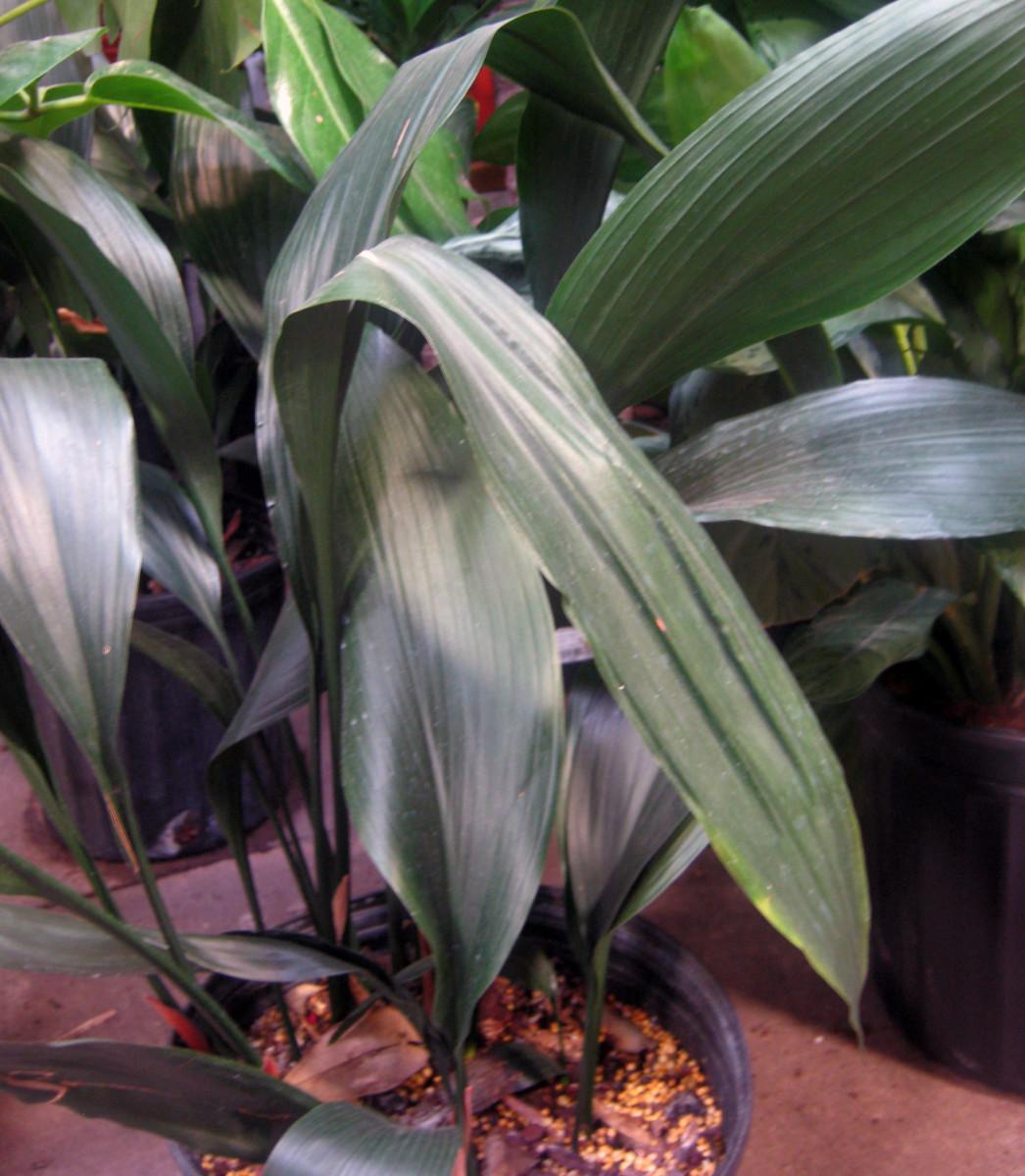 Cast Iron Plant or Aspidistra elatior