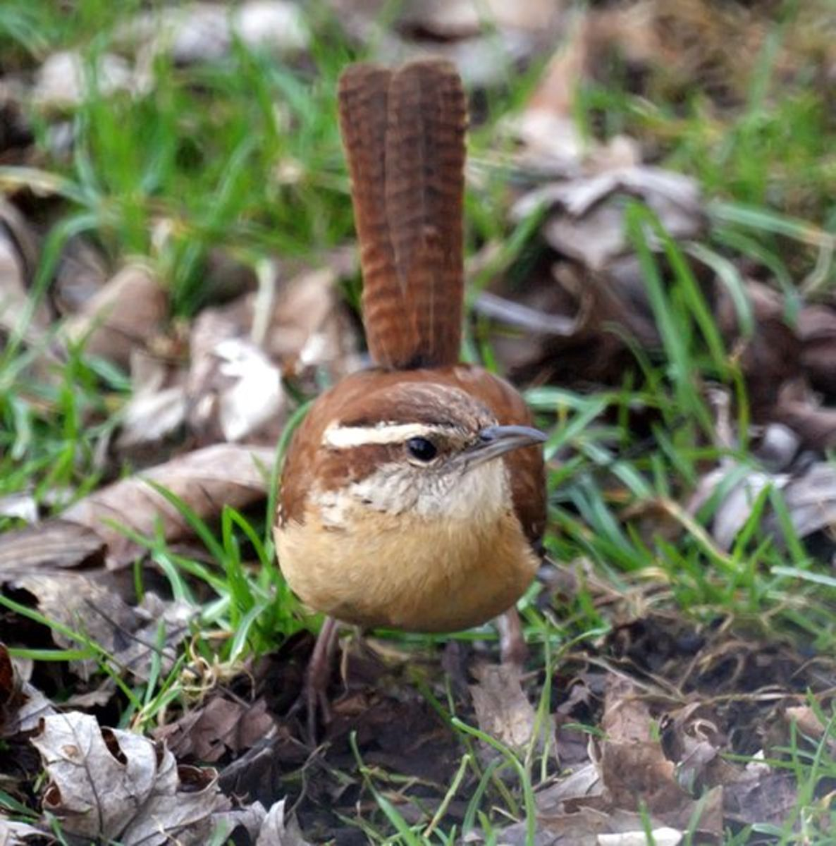 Carolina Wrens have a distinctive white eyebrow and upturned tail. Similar species include Bewicks Wren and House Wren.