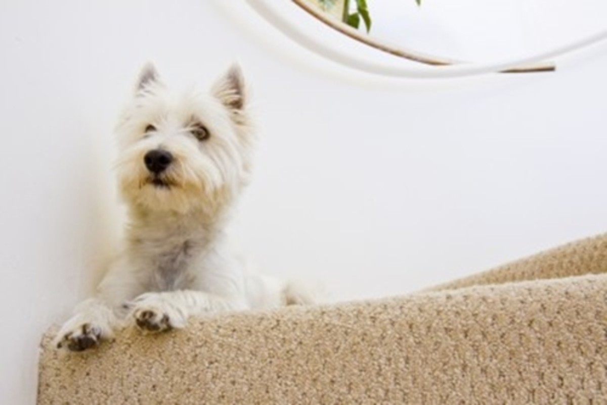 How to remove dog hair from carpet is a breeze if you follow our step by step tips!