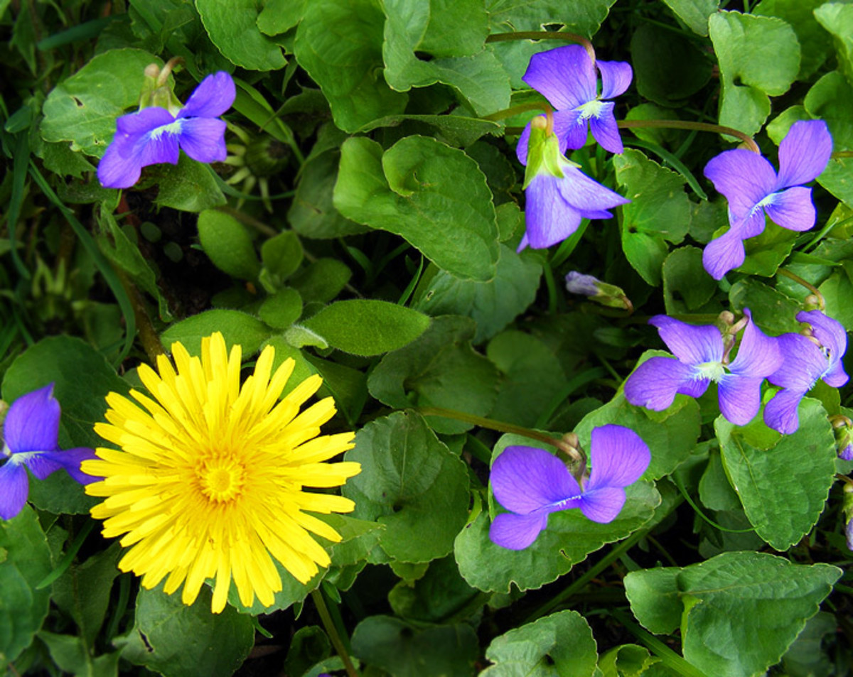 Wild Violet and Dandelion Bath Tea Recipe.