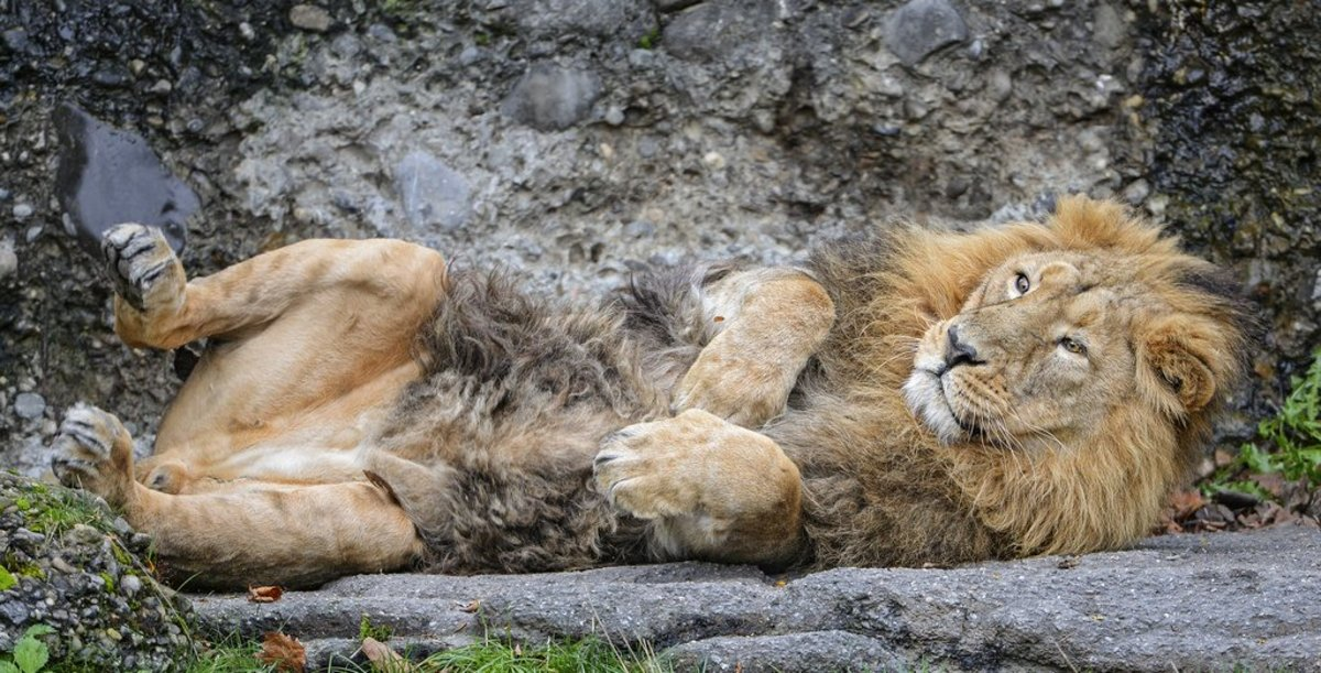 A cuddy big cat, the lion, lying on its back