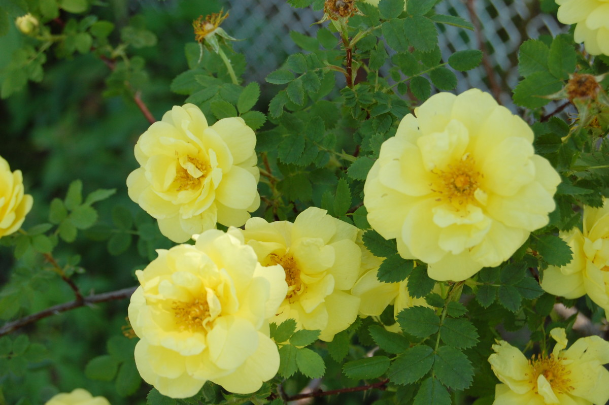 Is the Yellow Rose of Texas From Texas?