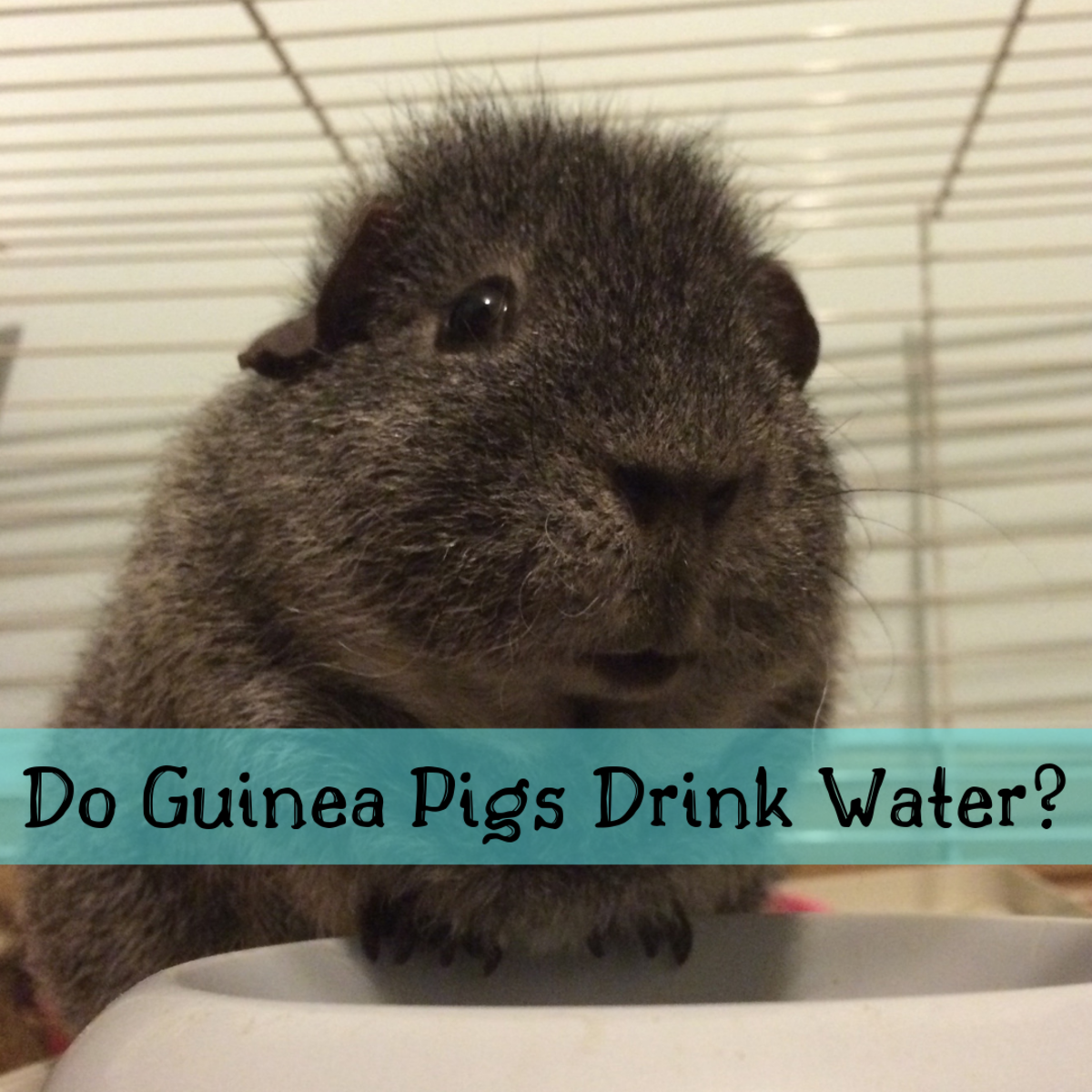 Find out if your guinea pig is getting enough water, even if it never drinks from its bottle or bowl.