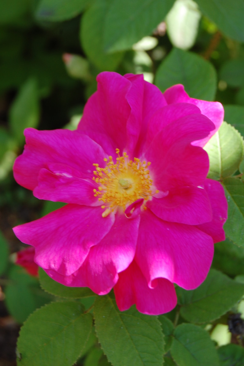 The Apothecary's Rose, an Heirloom Rose