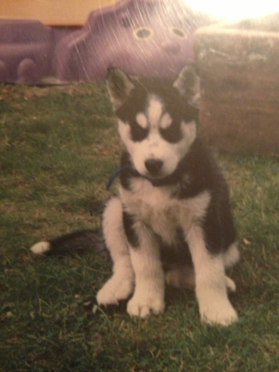 My Siberian Husky as a puppy.
