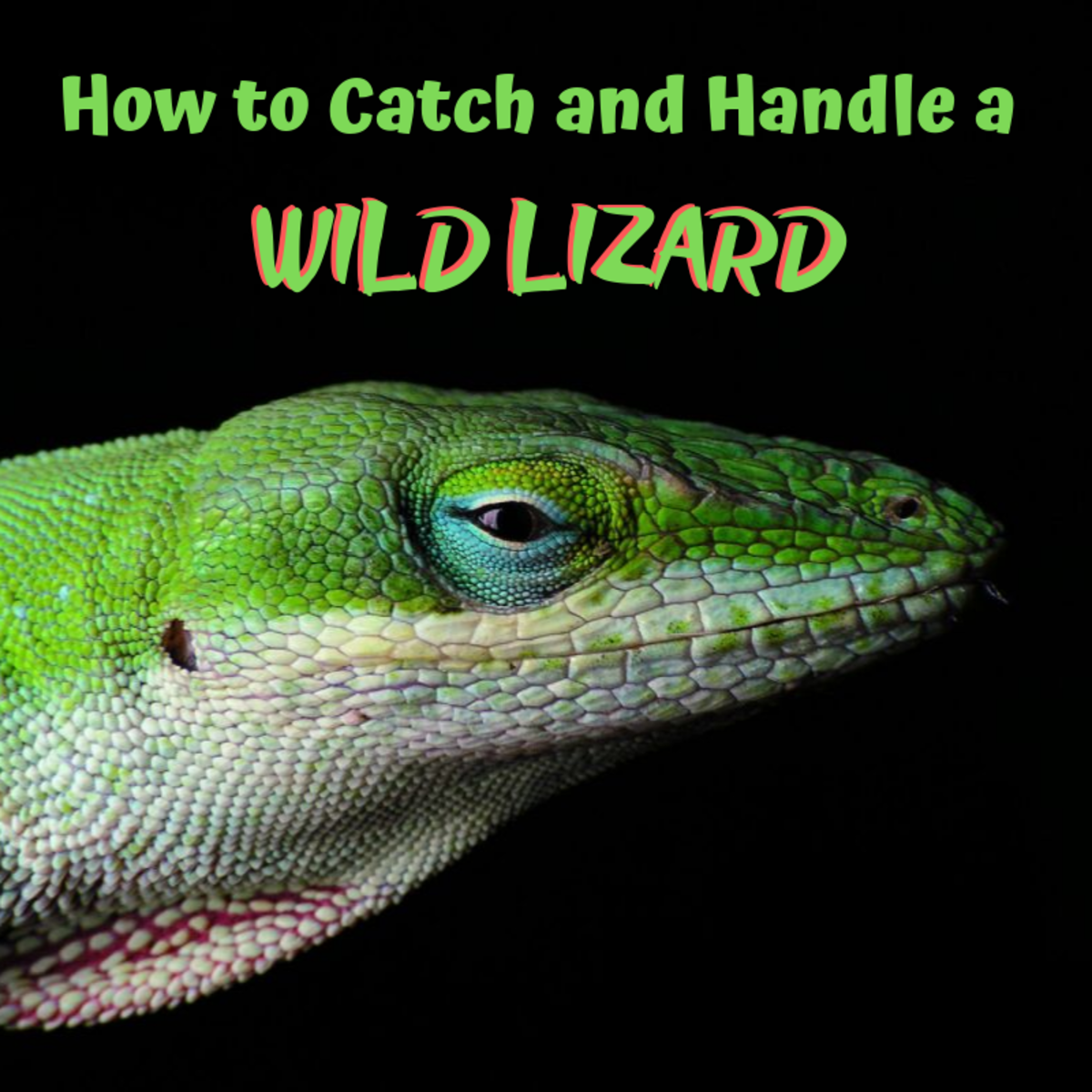 How to Safely Catch and Hold a Wild Lizard