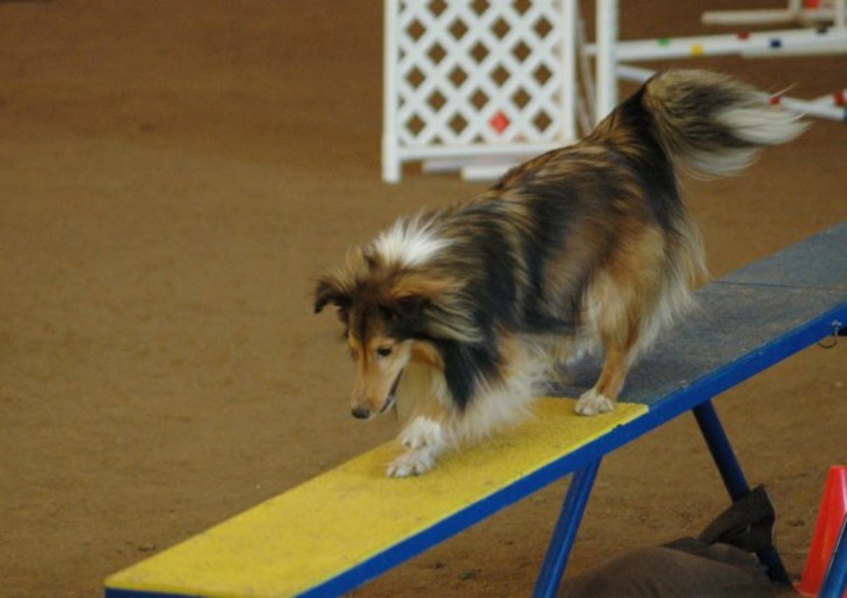 A photo from Asher's agility debut in 2009,