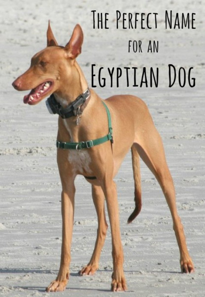 An adult Pharaoh hound.