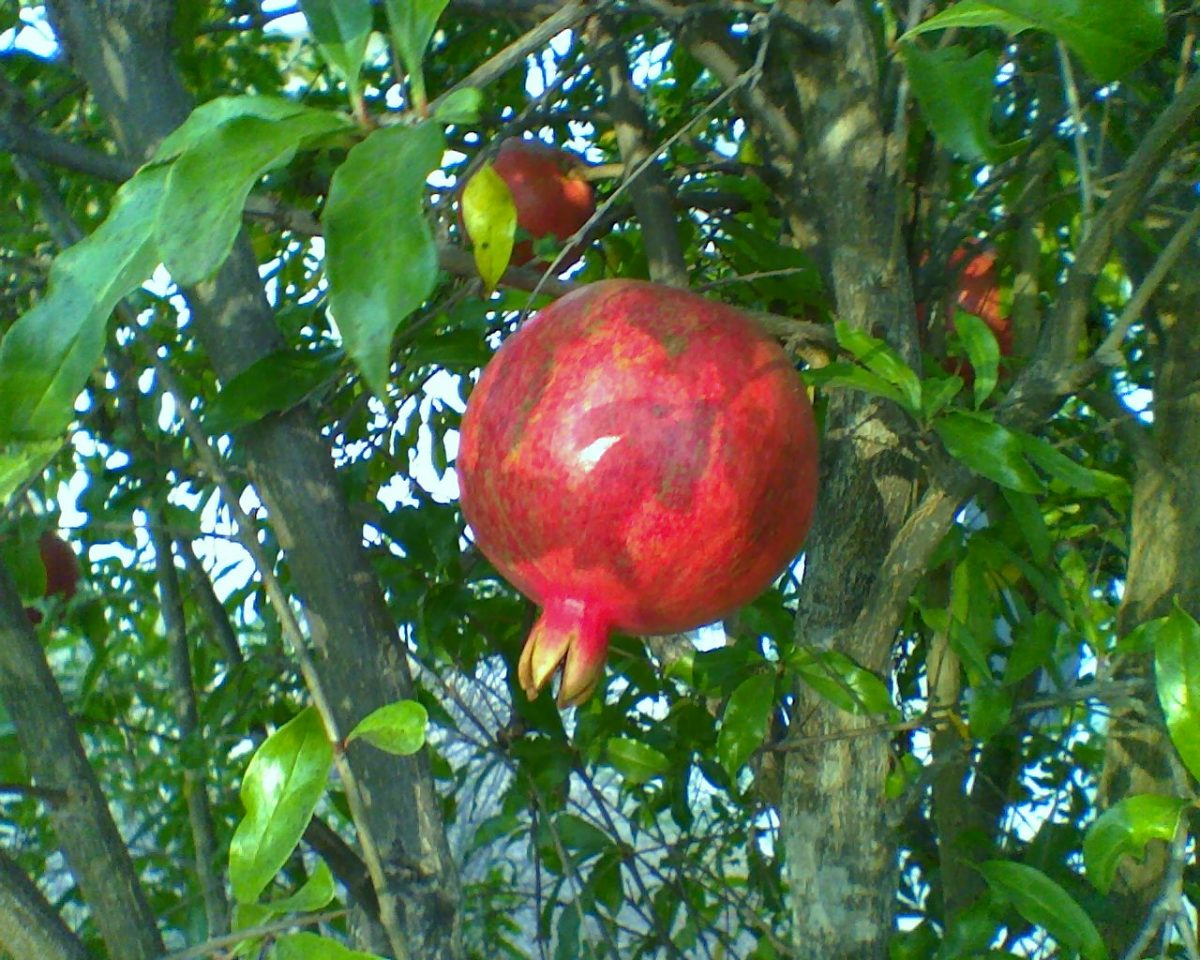 Here is a tasty-looking Pomegranate Wonderful, a nice backyard variety for the Southland.