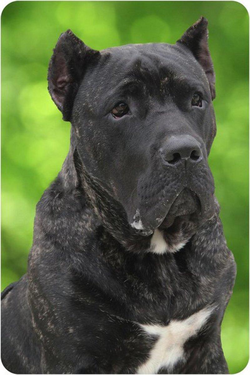 Are you looking for a tough dog? Above: Presa Canario.