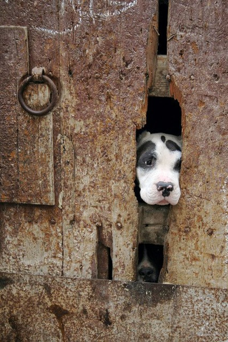 A Moroccan dog looking out.