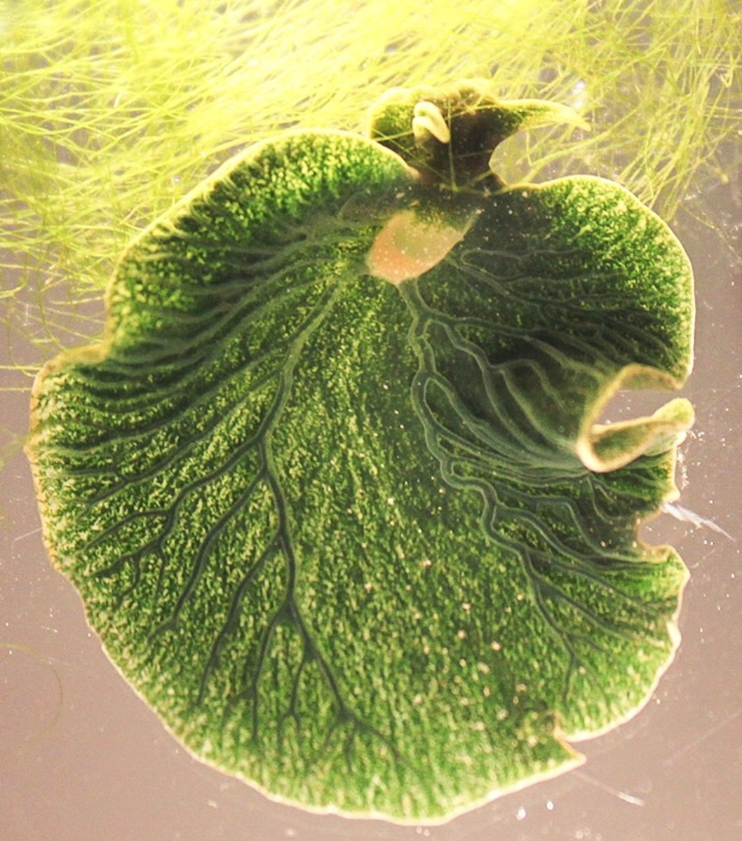 The eastern emerald elysia is green because it contains functional chloroplasts.