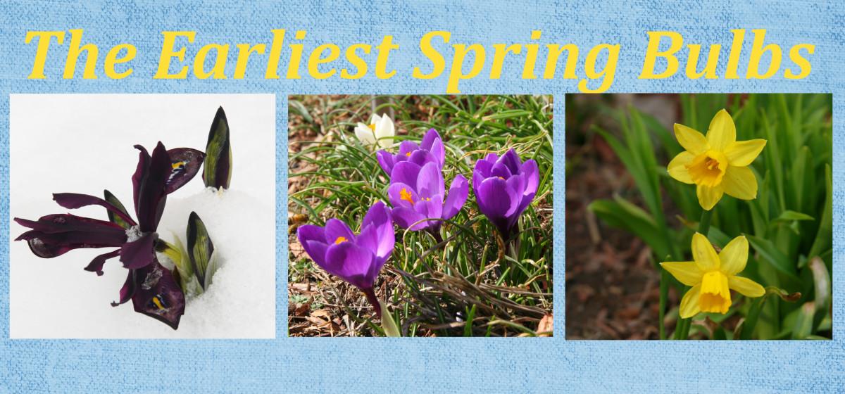 Earliest Blooming Spring Bulbs
