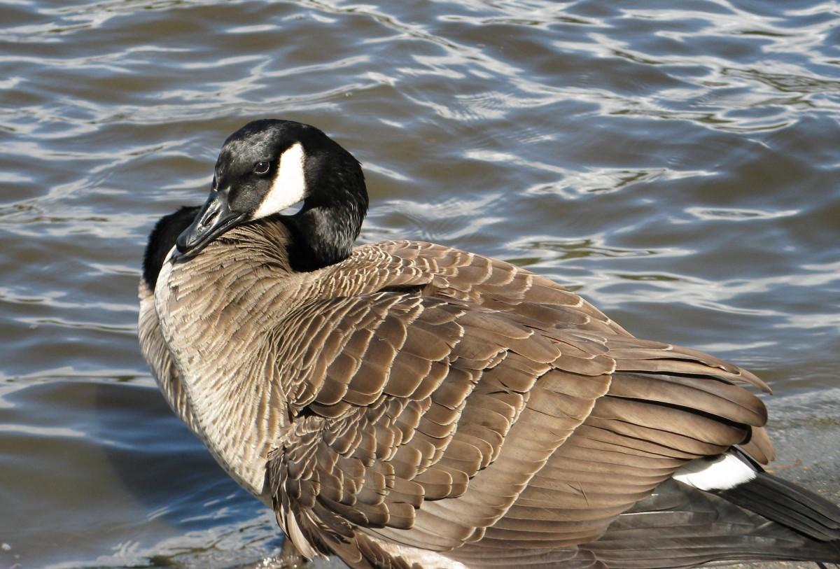 A goose at Lost Lagoon