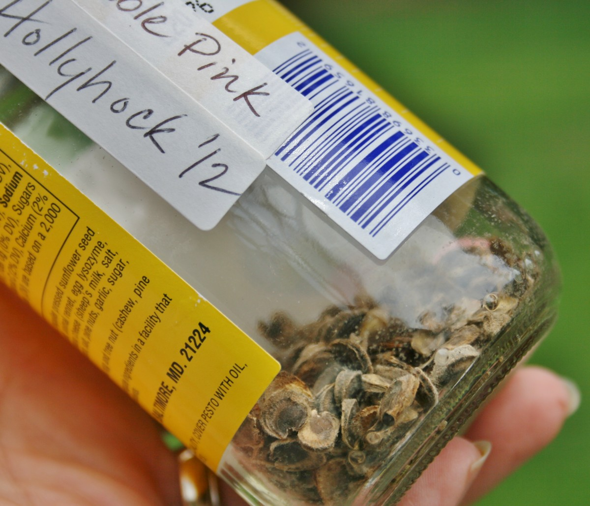Quick Guide to Collecting and Storing Hollyhock Seeds