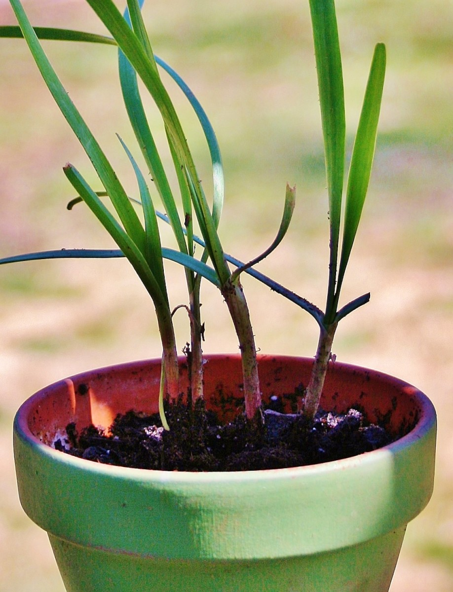 When dividing chives, be sure to pot up a few for your indoor kitchen herb garden.