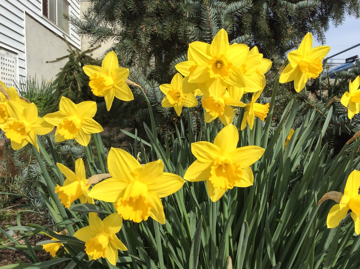 Daffodils are used as a symbol of hope by some cancer societies.