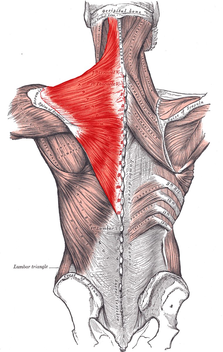 I'm going to do my best to summarize what the Trapezuis does...This muscle binds the shoulder blades to the spine.  When one has to move, the Trap helps move it and keep the other in place...upwards, downwards and  retracting the shoulder blades.