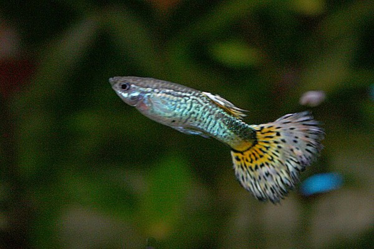 Guppies are among the best tropical fish for beginners.  They're active, fun and easy to care for.
