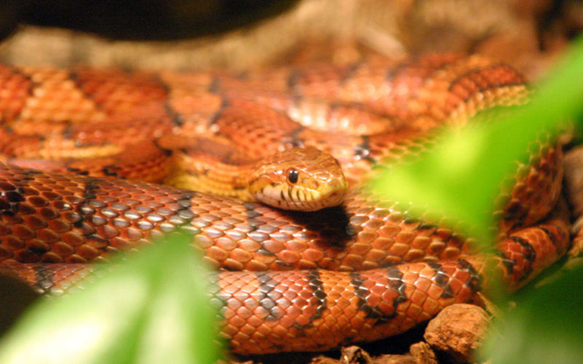 What Should I Choose as my First Pet Snake?