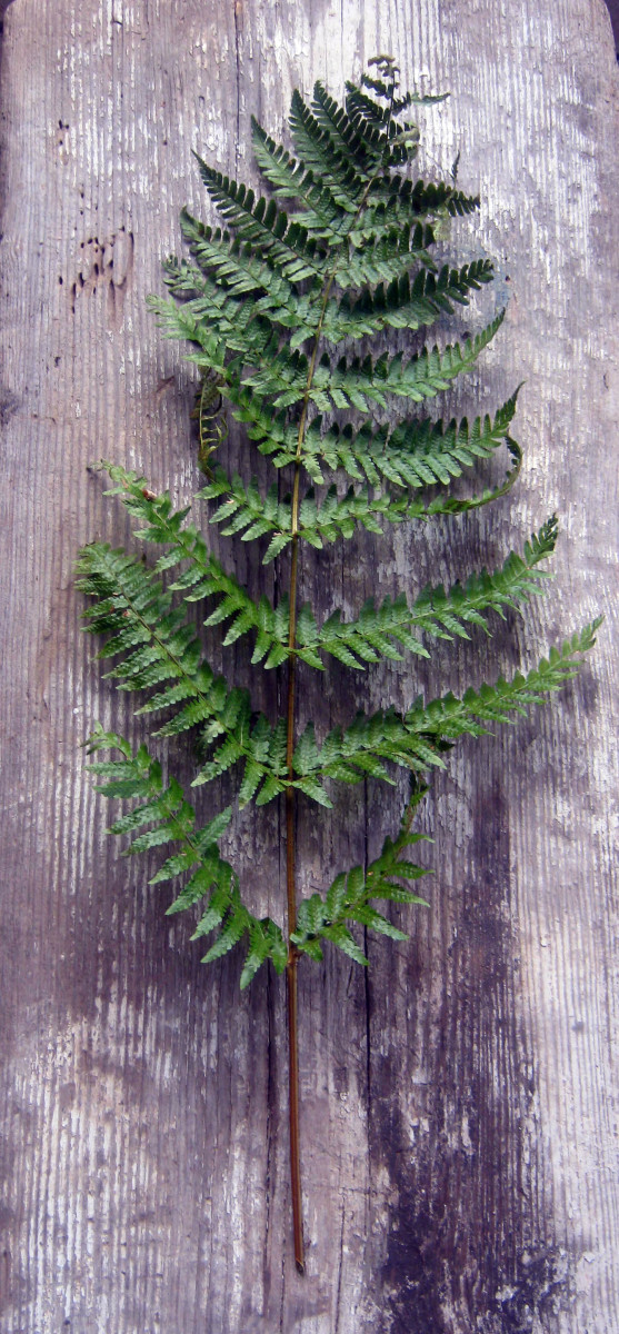 Houseplants: Easy to Find, Easy-Care Ferns