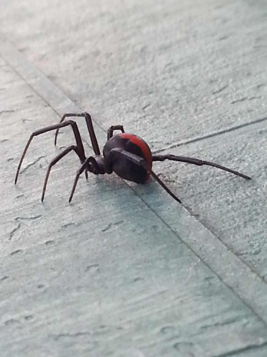 Redback Spider Bite: My Symptoms and Treatment