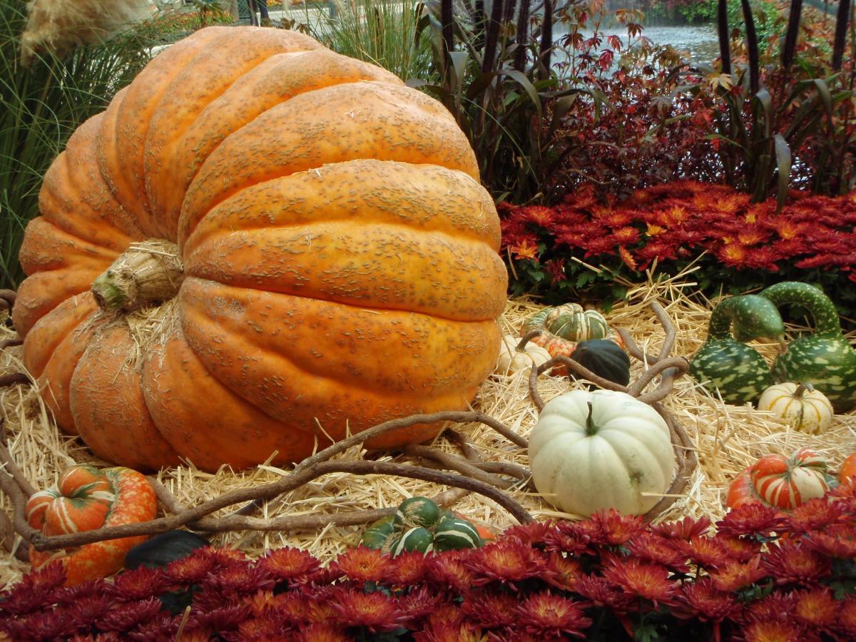 A giant pumpkin