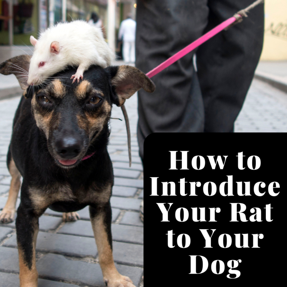 How to Protect Your Pet Rat From Your Dog