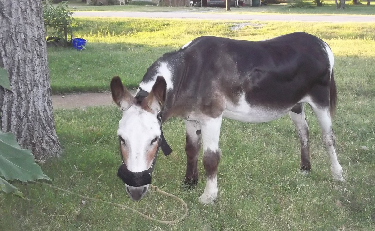 My donkey Ray makes the most of his grazing time!
