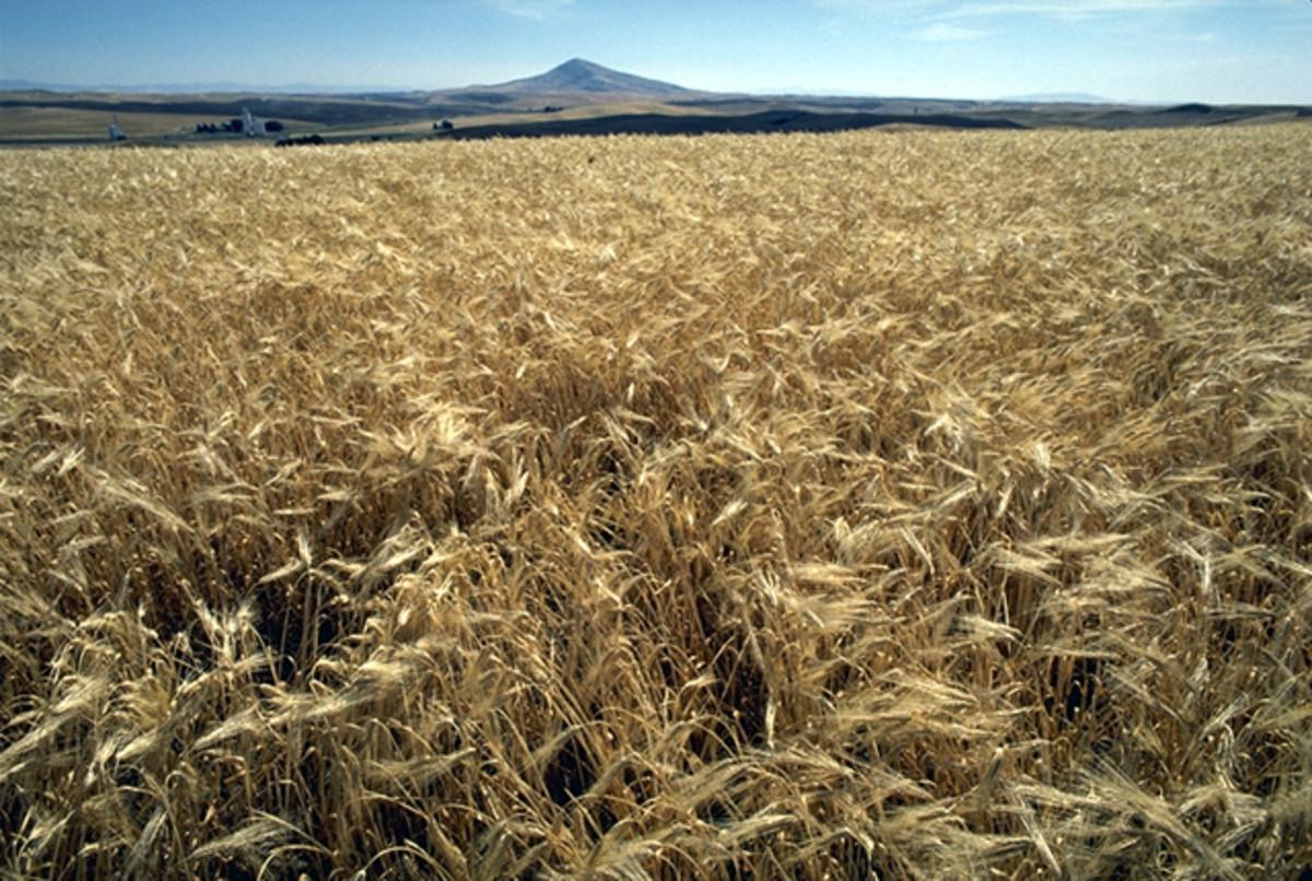 The Nutritional And Health Benefits Of Barley, Barley Water And Barley Tea