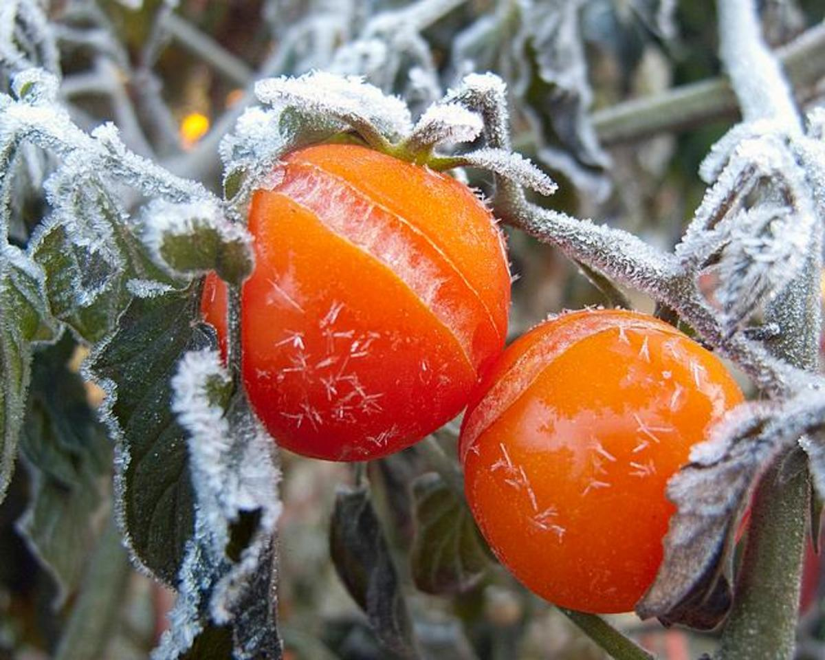 How to Protect Tomatoes, Peppers, and Eggplant From Frost