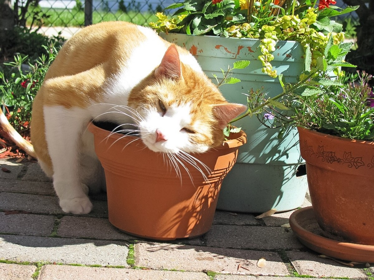 A cat rubbing his body against a catnip plant