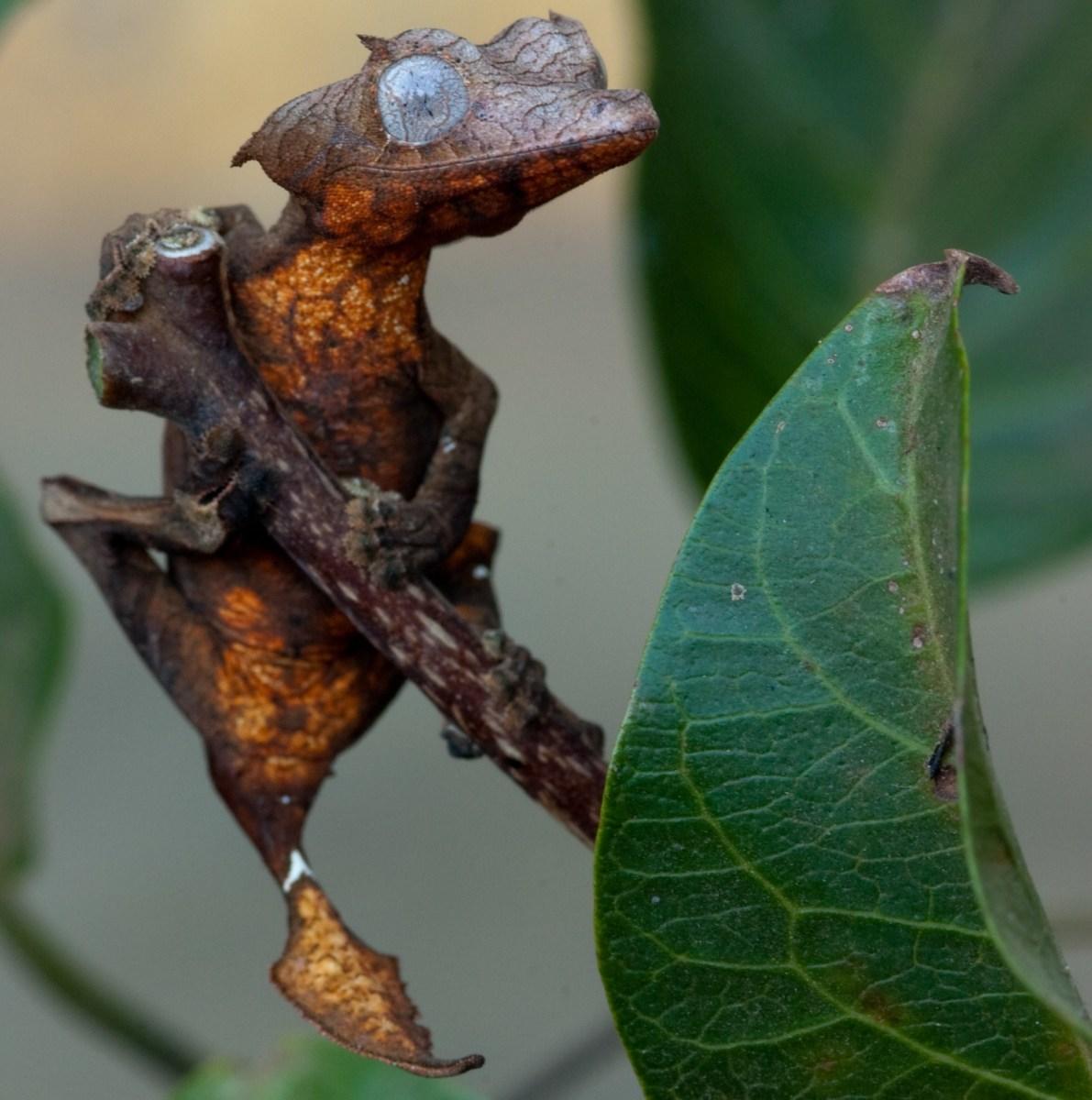 Lizards: Leaf Tailed Gecko