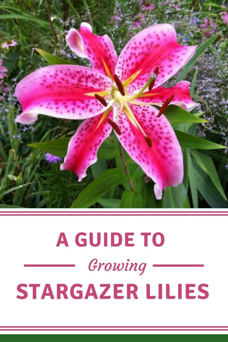 A guide to growing spectacular stargazer lilies dengarden izmirmasajfo